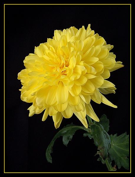 Chrysanthemum by Lorraine