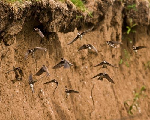 sandmartins by flyking3
