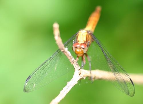 Dragonfly by Desh_M