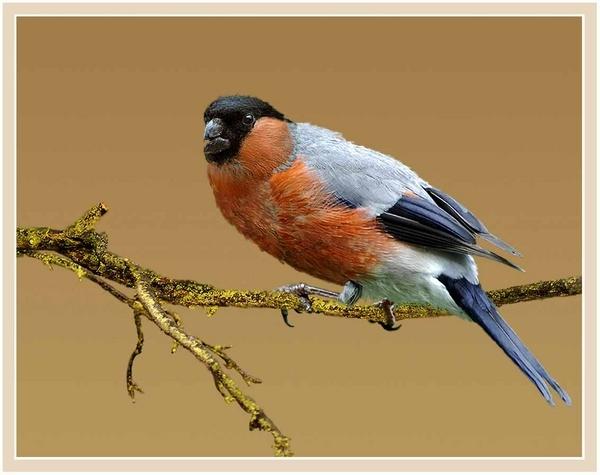 Bullfinch (Pyrrhula Pyrrulla) by Hawkgenes