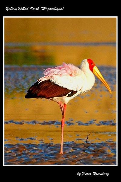Yelloe Billed Stork by pmscr