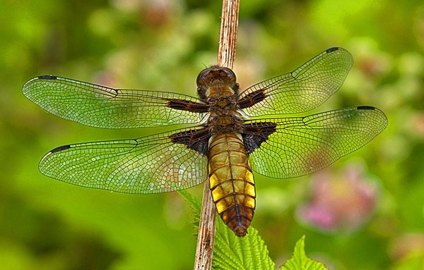 Female Broad-bodied chaser by CanonMan