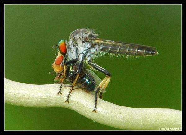 Robberfly by taufekshariff