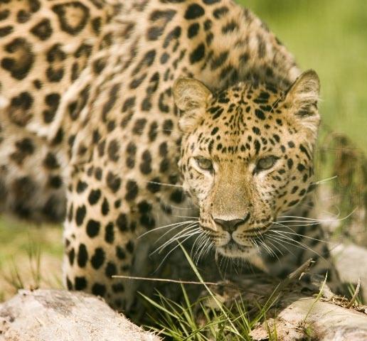 leopard by yar123