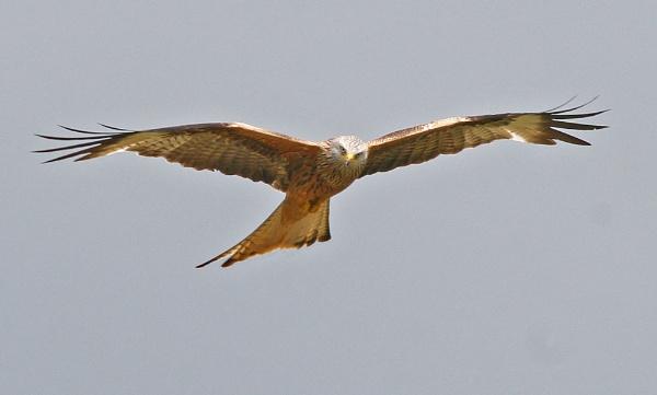 Red Kite by bigLol