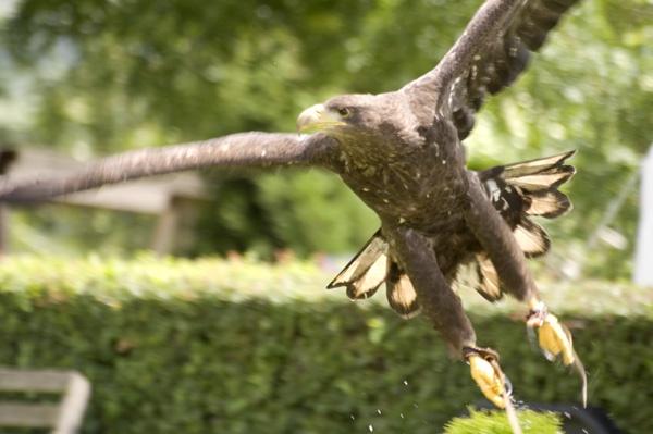 Eagle in Flight by dwilkin