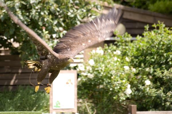 Eagle in Flight 2 by dwilkin