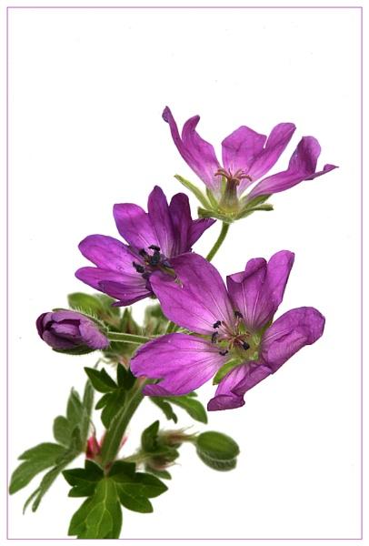 Mini wild geranium by didgpix