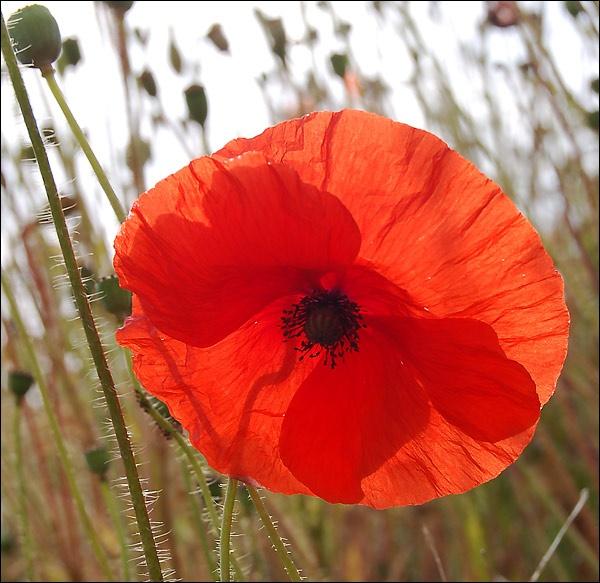 Poppy Red by MrsMad