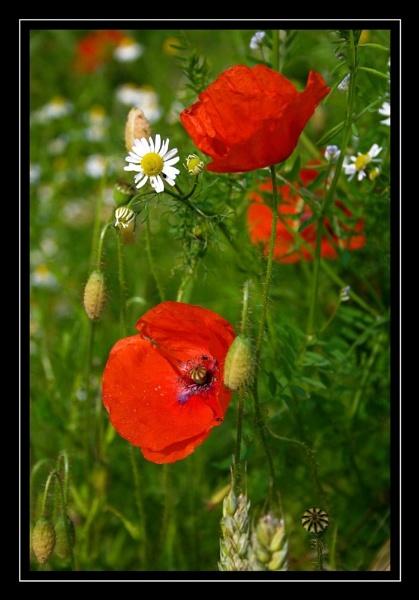 poppy by SeanyP