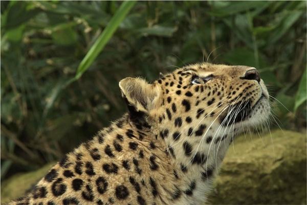 Amur Leopard by Kim Walton