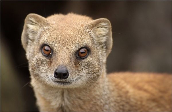 Yellow Mongoose by Kim Walton