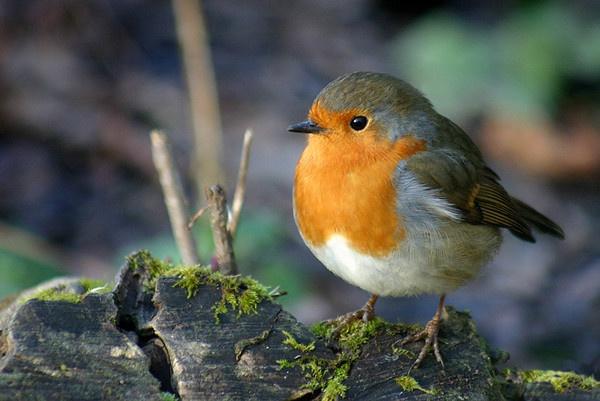 Robin by nanpantanman