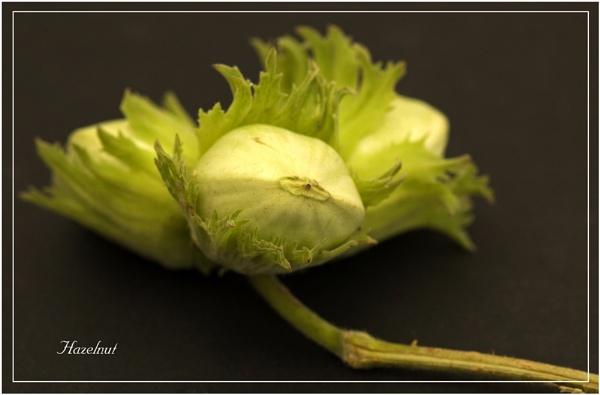 Hazelnut by roseyemma