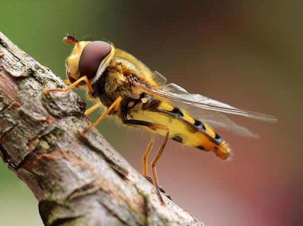 hoverfly by funkymarmalade