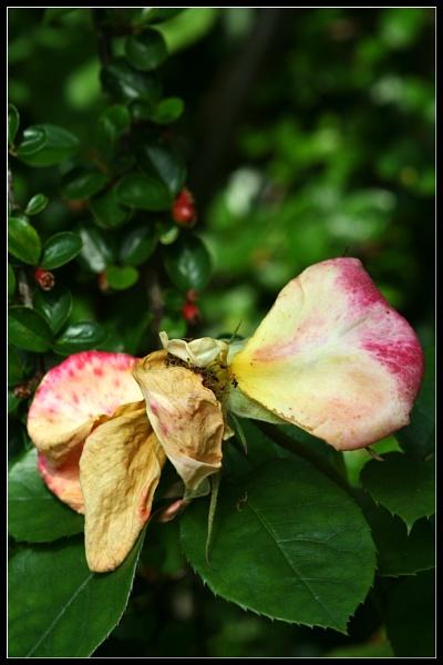 Rose Remnants by Morpyre