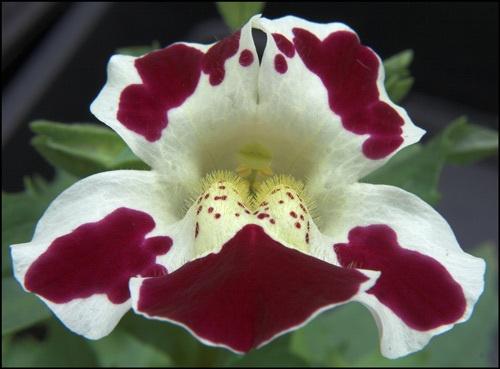 Monkey Flower (Mimulus) by wbk666