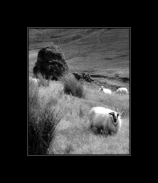 Dingle Peninsula sheep by Callanan