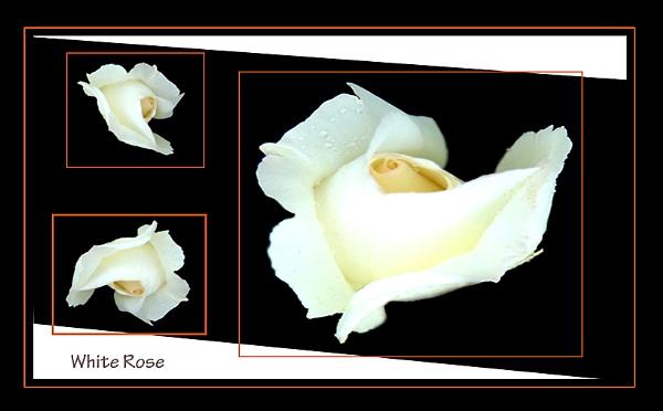 White Rose by Rune_andersen