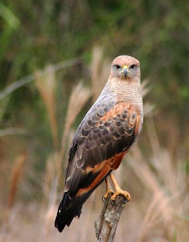 Savannah Hawk by Hazelmouse