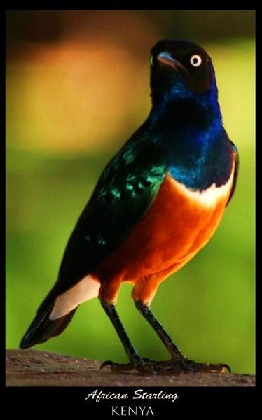 Starling by monoman