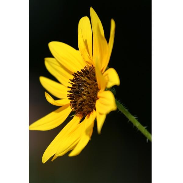 Sun Flower by kezeka