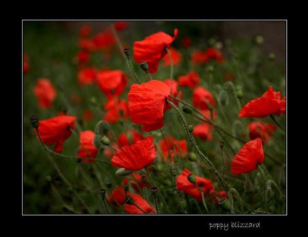 \'poppy blizzard\' by limmy62