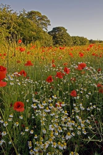 Poppy field by audi_db