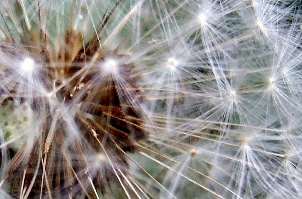 Dandelion Fireworks by theeyesoftheblind