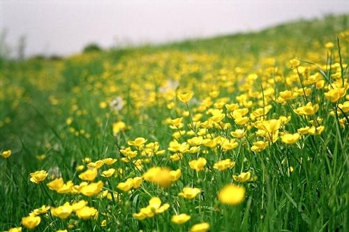 Buttercup Field by saviour99
