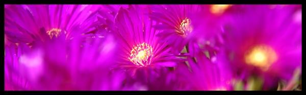 Purple by jage