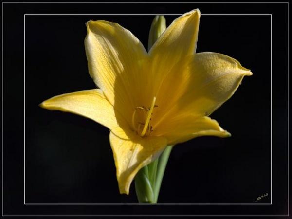 Lily frame by jamsa