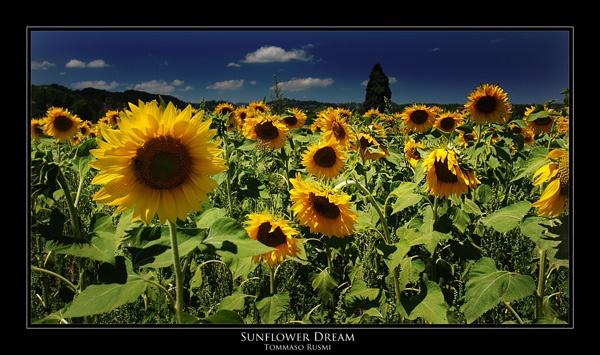 Sunflower Dream by rusmi