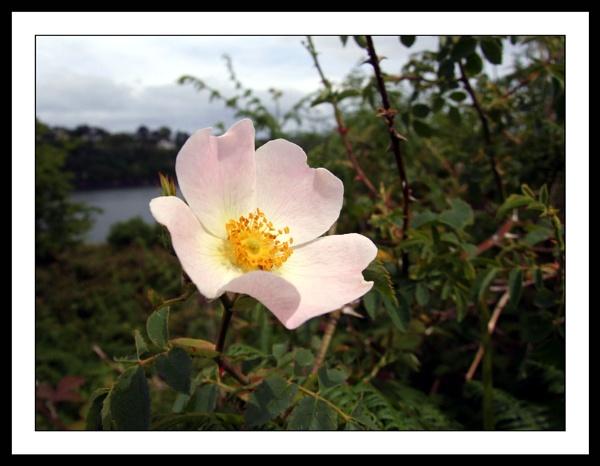 Wild Rose by mark.kavanagh