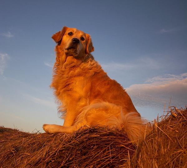 Golden Hay by conrad