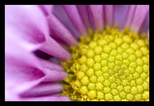 Chrysanthemum by john64