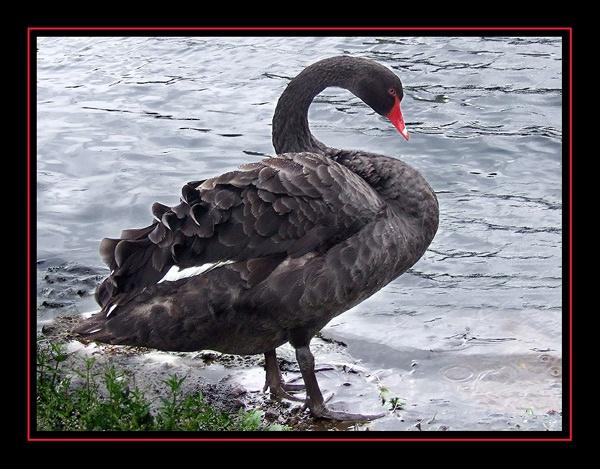 Black Swan by Lorraine