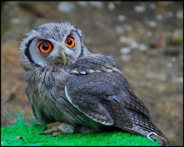Baby Scops Owl by MikeRC