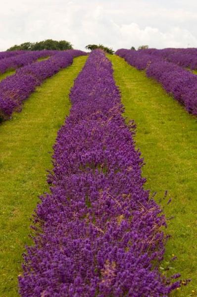 Lavender by yar123