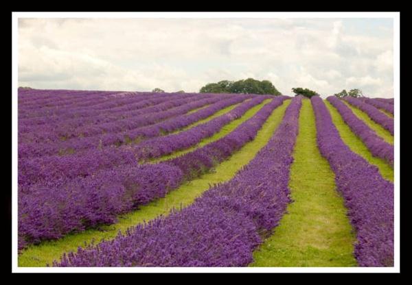 Lavender 2 by yar123