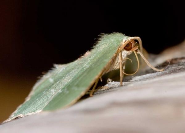Emerald Moth by tanyard