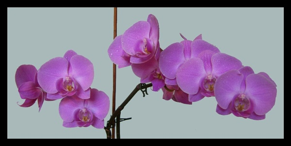 Orchids by ewartwilson