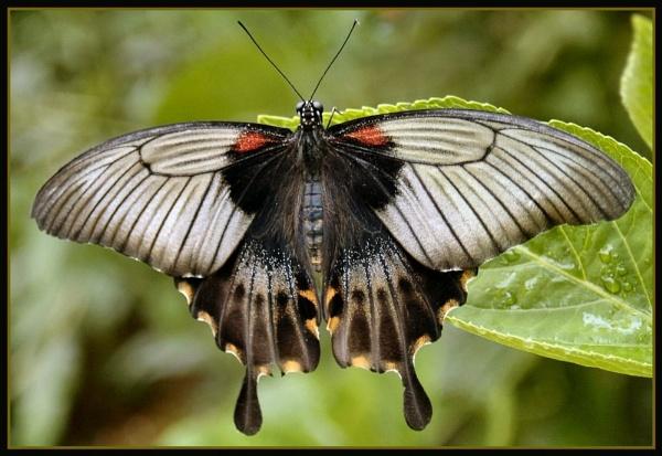 Swallow tail Flutterbye by clur