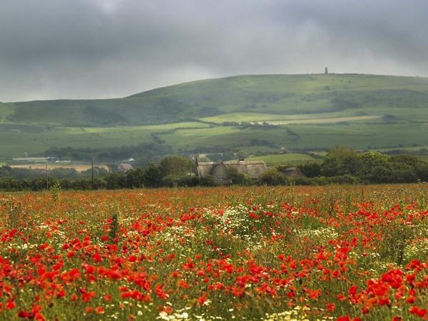 Poppy Fields by badgerwil70