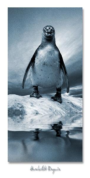 Humboldt Penguin by MartinWait