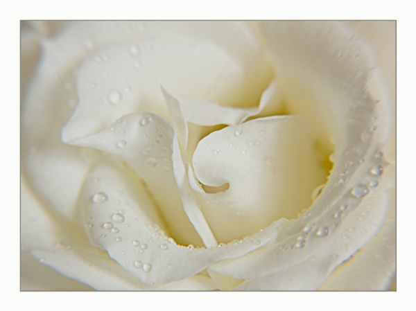 White Rose by snoops