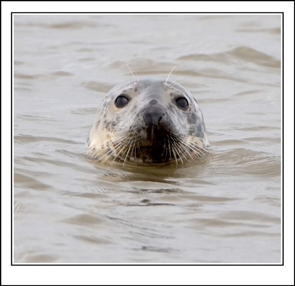 Hilbre Seal by ron thomas