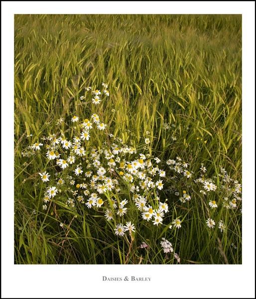 Daisies & Barley... by Scottishlandscapes