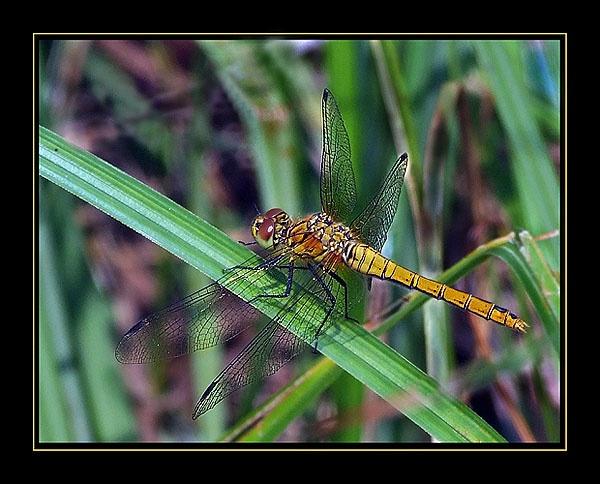 Dragonfly. by Lorraine