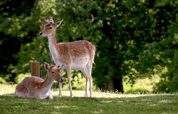 Deer at Knole Park by Sezz